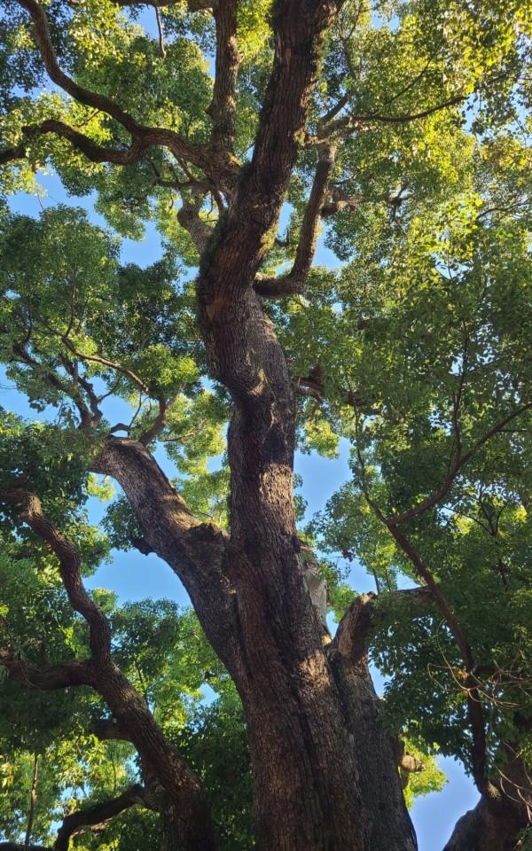 住吉大社の大木